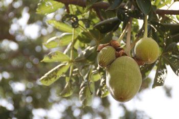 huile de baobab : bienfaits et beauté naturelle